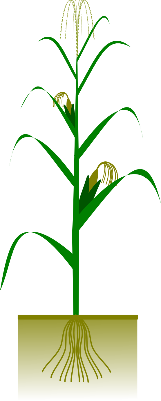 corn plant clipart - Jowar Plant PNG