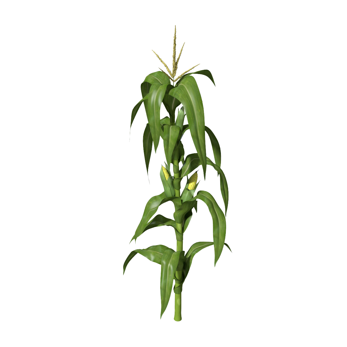 Corn plant clipart for kids - Jowar Plant PNG