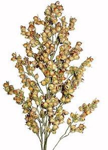 JOWAR (SORGHUM) - Jowar Plant PNG