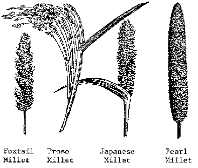 Millets - How a sorghum plant develops - Jowar Plant PNG