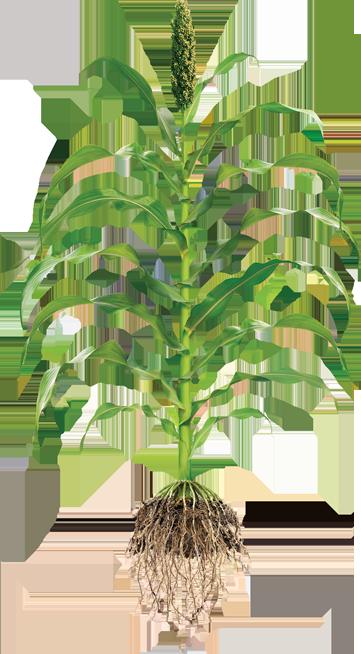 Planting Management - Jowar Plant PNG