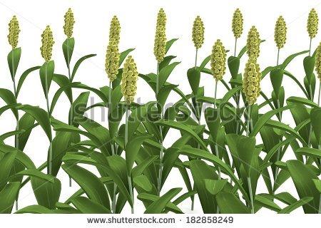 realistic 3d render of sorghum - Jowar Plant PNG