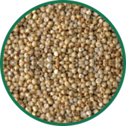 Jowar Grains