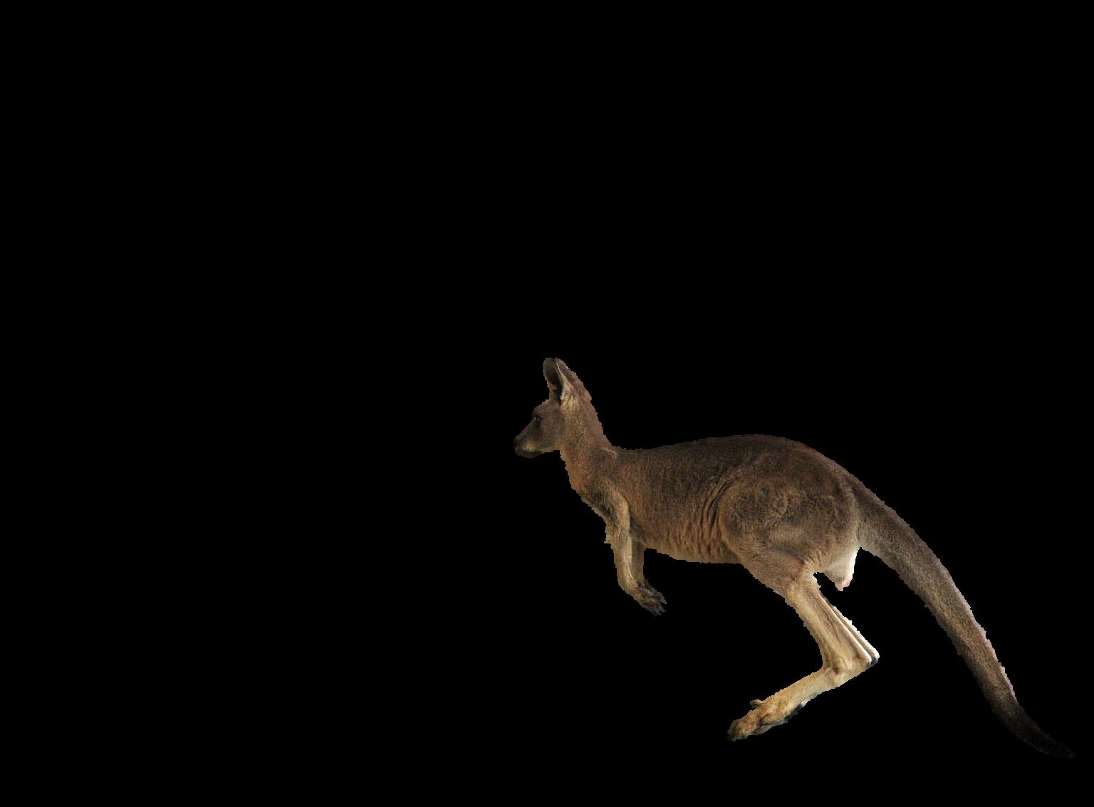 Kangaroo - Jumping Kangaroo PNG