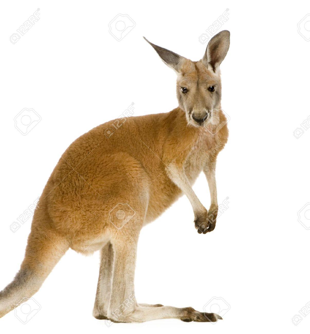 5b00409.png - Kangaroo PNG