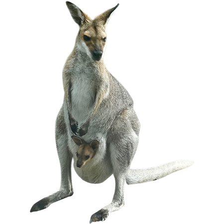 A mother kangaroo with her baby in pouch is bounding around your Photoshop  project. - Kangaroo PNG