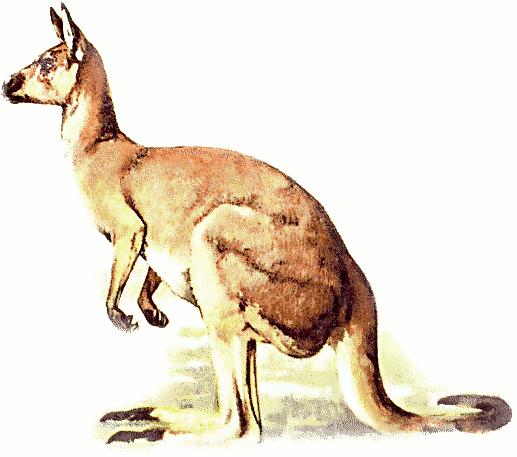 kangaroo 4 - Kangaroo PNG