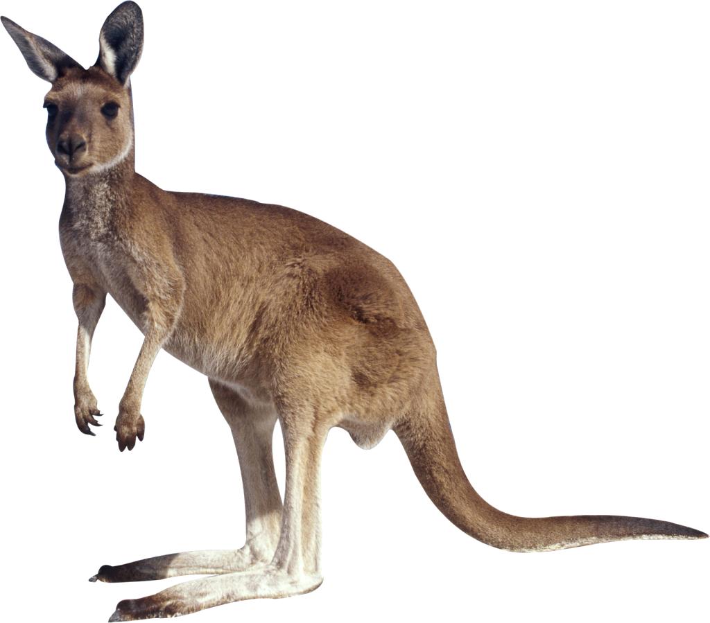 Kangaroo PNG - Kangaroo PNG