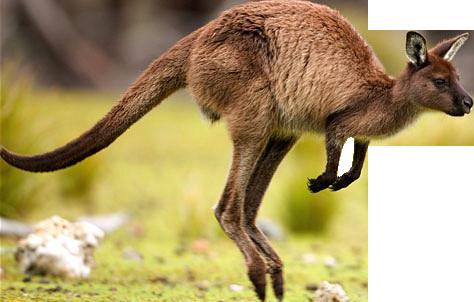 Kangaroo Png Picture PNG Image - Kangaroo PNG