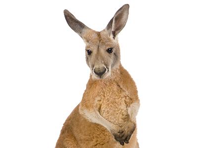Kangaroo Transparent PNG Image - Kangaroo PNG