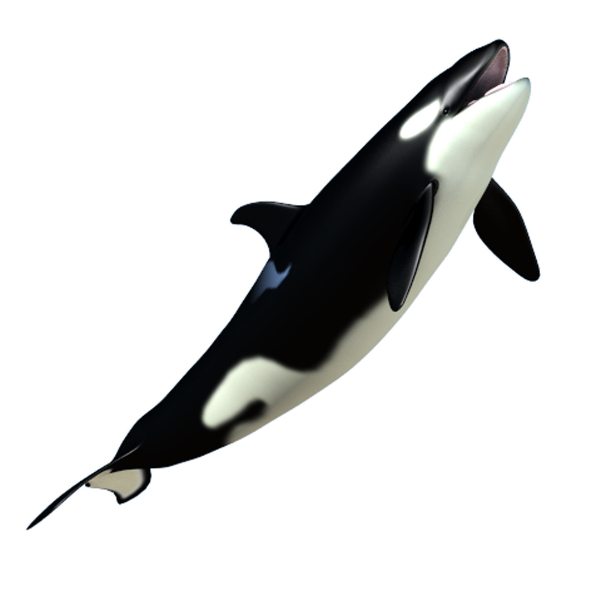 baby killer whale 3d dxf - Killer Whale PNG