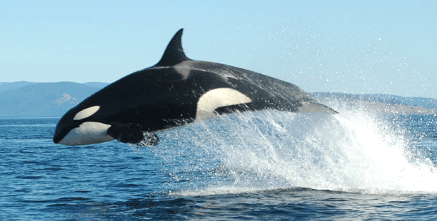 Killer Whale - Killer Whale PNG