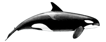 Killer-whale-female.png - Killer Whale PNG
