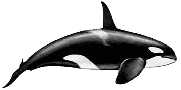 Killer-whale-male.png - Killer Whale PNG