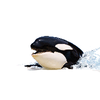 Killer Whale Picture PNG Image - Killer Whale PNG