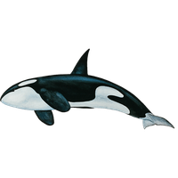 Killer Whale Png PNG Image - Killer Whale PNG