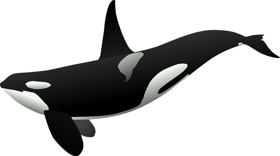 Orca, Killer Whale, Sea Mammal, Marine Life, Sea Life - Killer Whale PNG