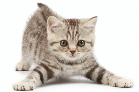 Kitten PNG - 25511