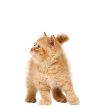 Cats png free images download pngimgcom - Kitten PNG - Kitten PNG HD