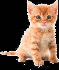 Cute Kitten png - Kitten PNG HD