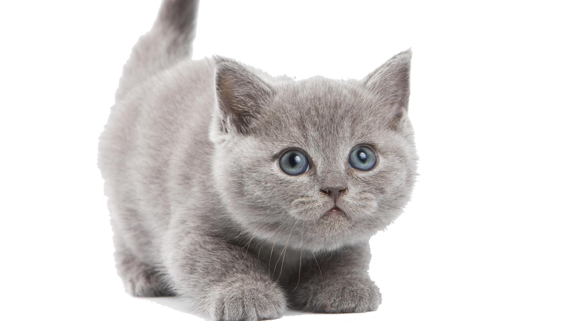 Kitten PNG Image - Kitten PNG HD