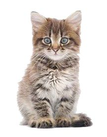 kitten photos - Google Search - Kitten PNG