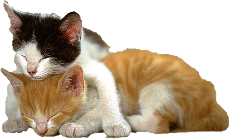 Kitten PNG - 25498