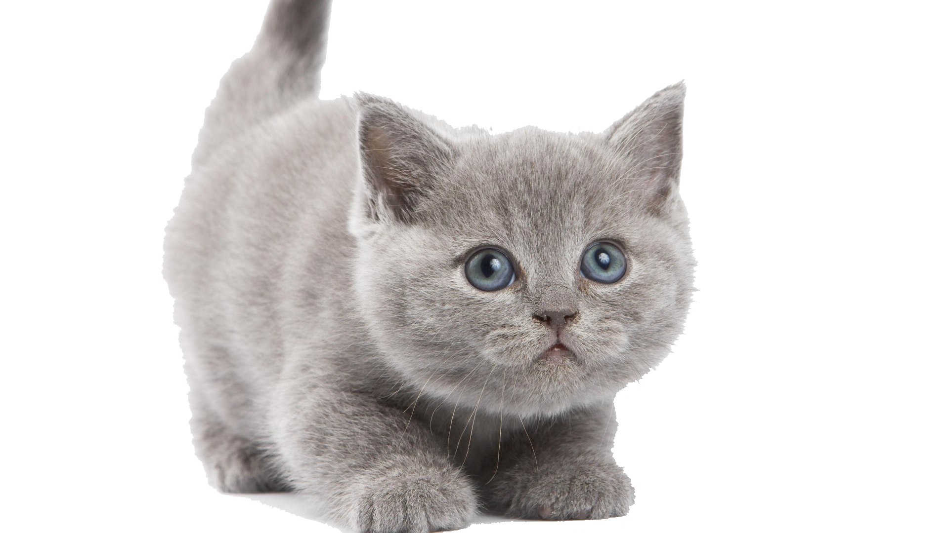 Kitten PNG Transparent Kitten.PNG Images. | PlusPNG