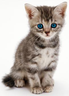 Kitten PNG - 25507