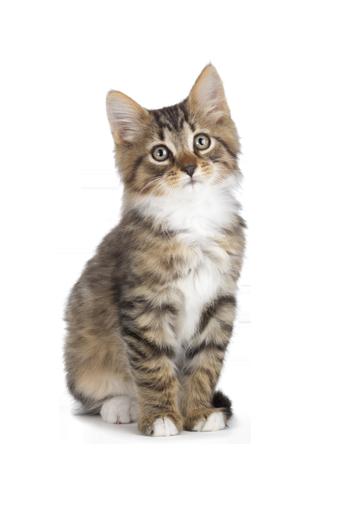Kitten PNG - 25509