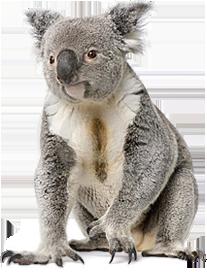 Koala HD PNG