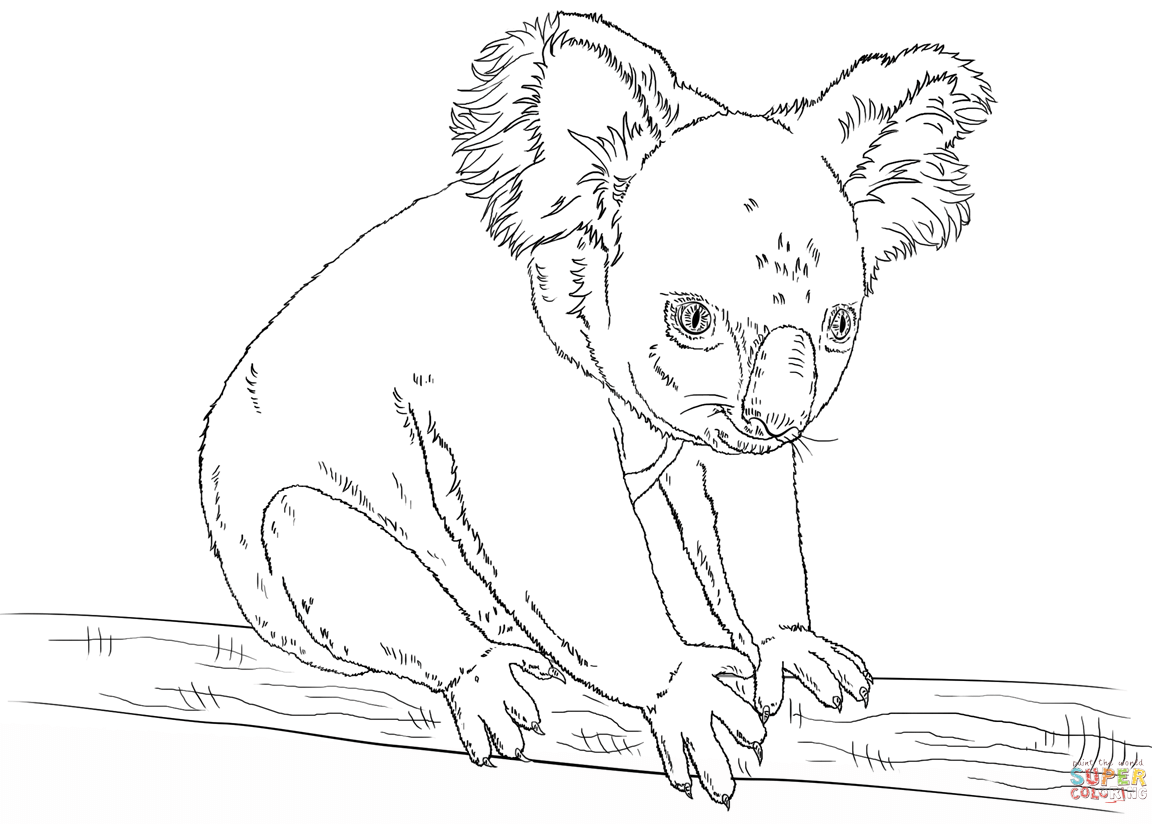 Full Size of Koala Coloring Page With Wallpapers Hd For Android Pages PlusPng.com  - Koala PNG HD