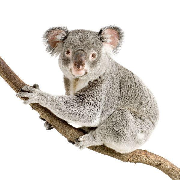 Image result for watercolour paintings of koalas - Koala PNG HD