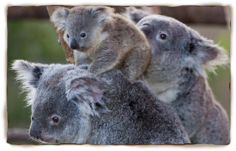 Koala 55 - Koala PNG HD