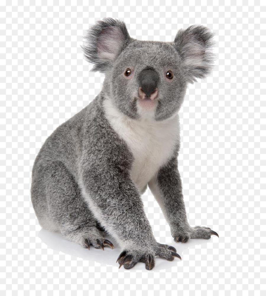 Koala Australia Bear Cuteness Animal - Koala daze - Koala PNG HD