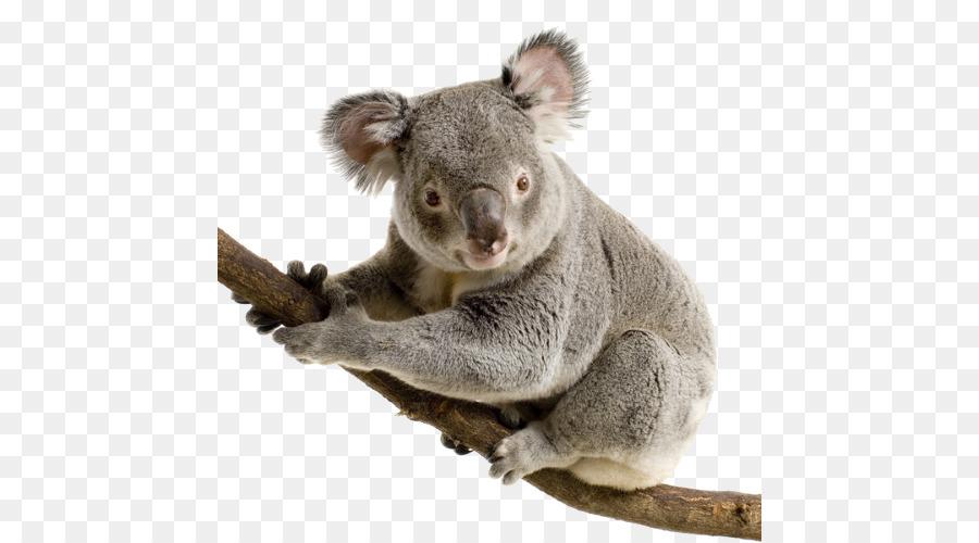 Koala Bear Giant panda Cuteness - Koala PNG - Koala PNG HD