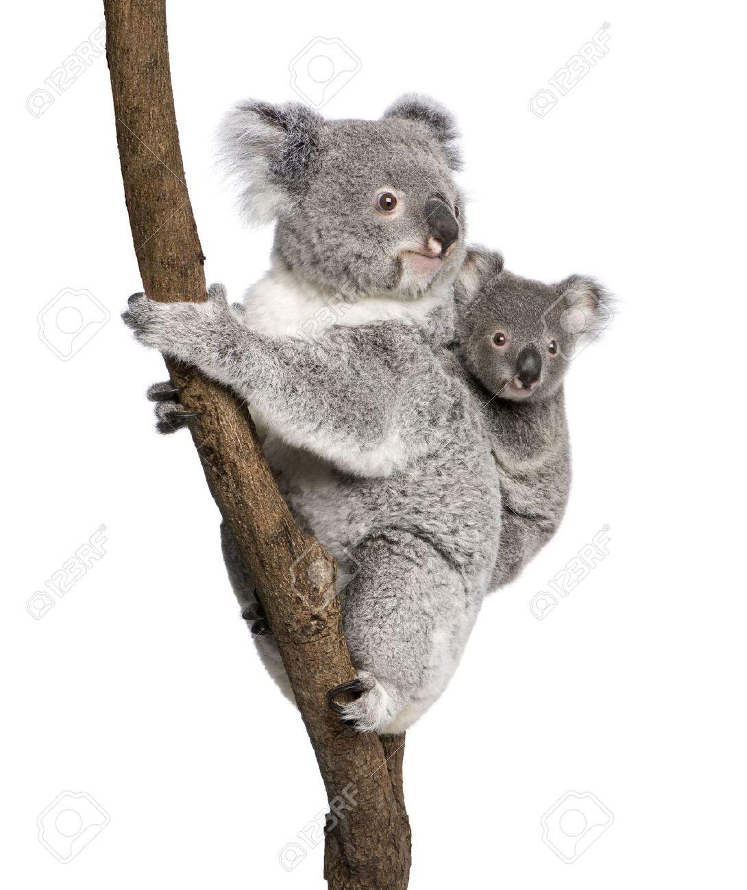 Koala bears climbing tree, 4 years old and 9 months old, Phascolarctos  cinereus, - Koala PNG HD