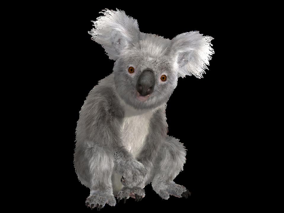 Koala PNG - Koala HD PNG - Koala PNG HD