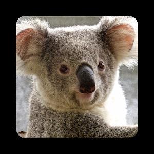 Koala Wallpaper HD - Koala PNG HD