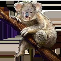 Koala PNG Images - 42913