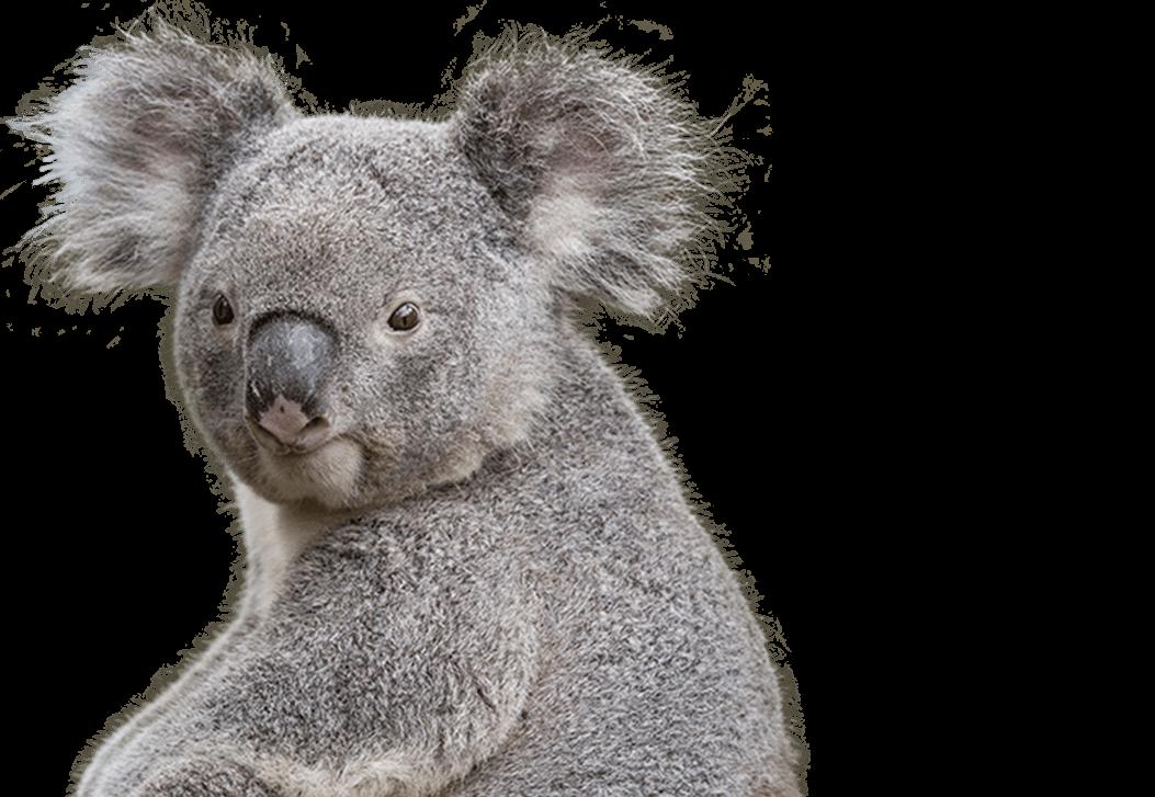 Koala PNG Images - 42915