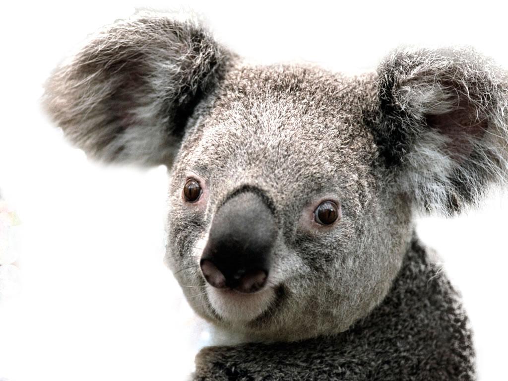 Koala PNG Images - 42907