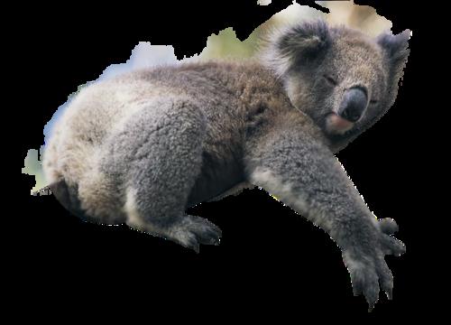 Koala PNG Images - 42905