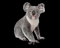 Koala PNG Images - 42912
