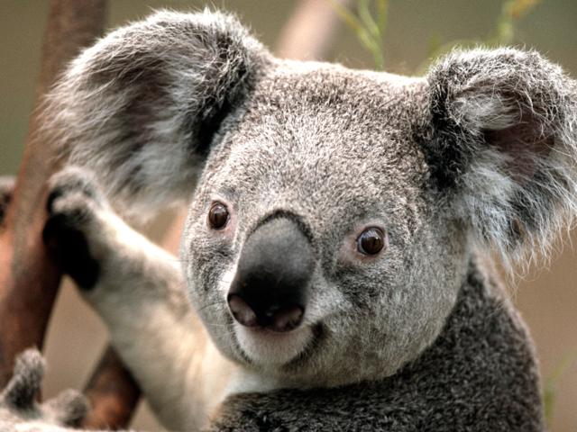 Koala PNG Images - 42909