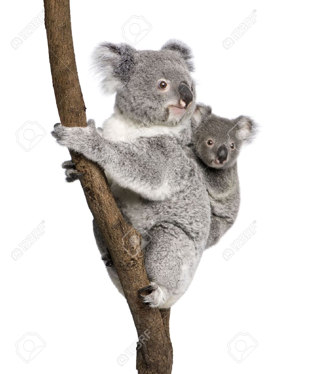 Koala bears climbing tree, 4 years old and 9 months old, Phascolarctos  cinereus, - Koala Tree PNG