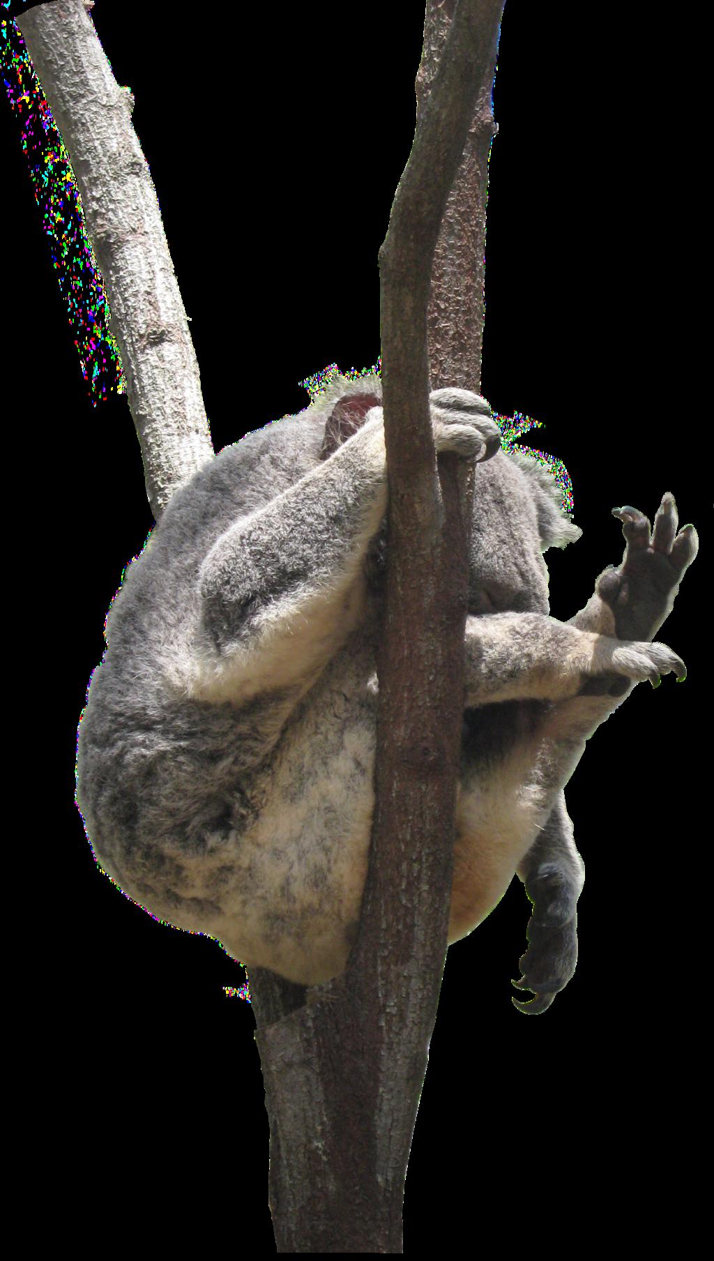 Koala Tree PNG