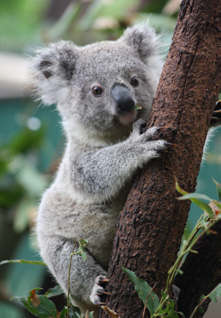 Koala Tree PNG - 42880