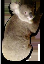 Koala Tree PNG - 42872