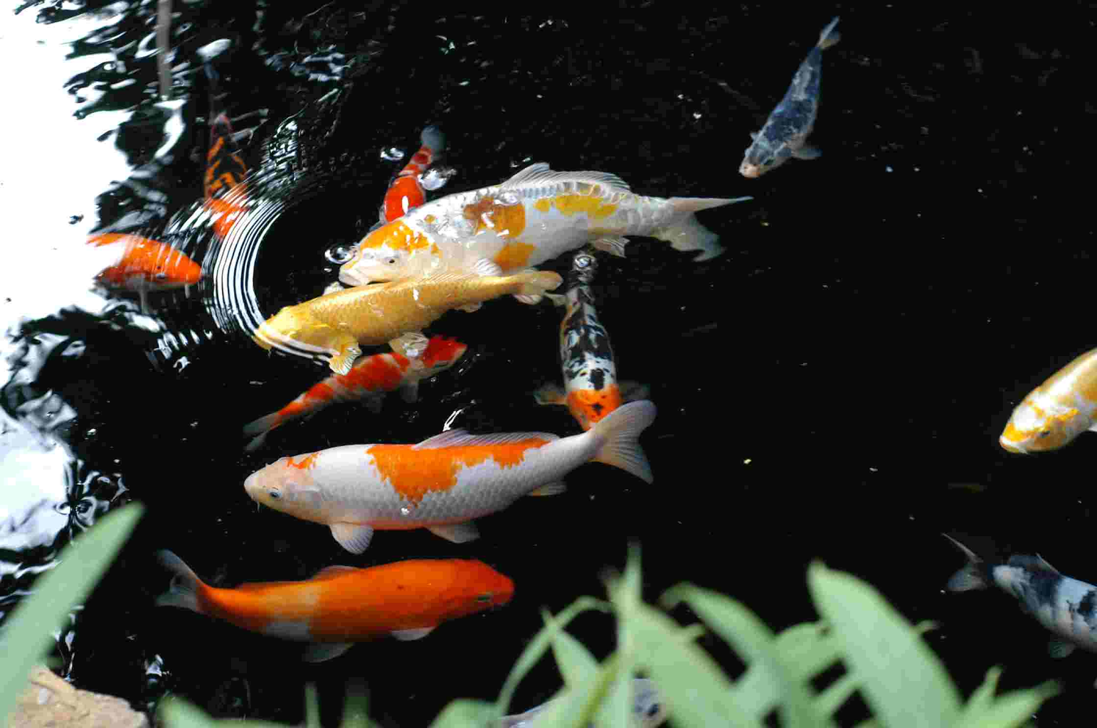 Koi Fish PNG HD - 127790